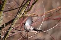 冬の野鳥 ⑤ エナガ 明野村  2021 01 01