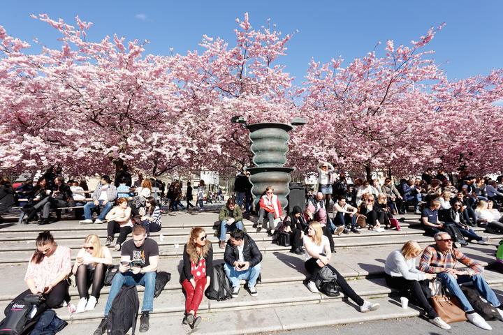 コロナウイルス スウェーデンモデル、桜を楽しむ市民