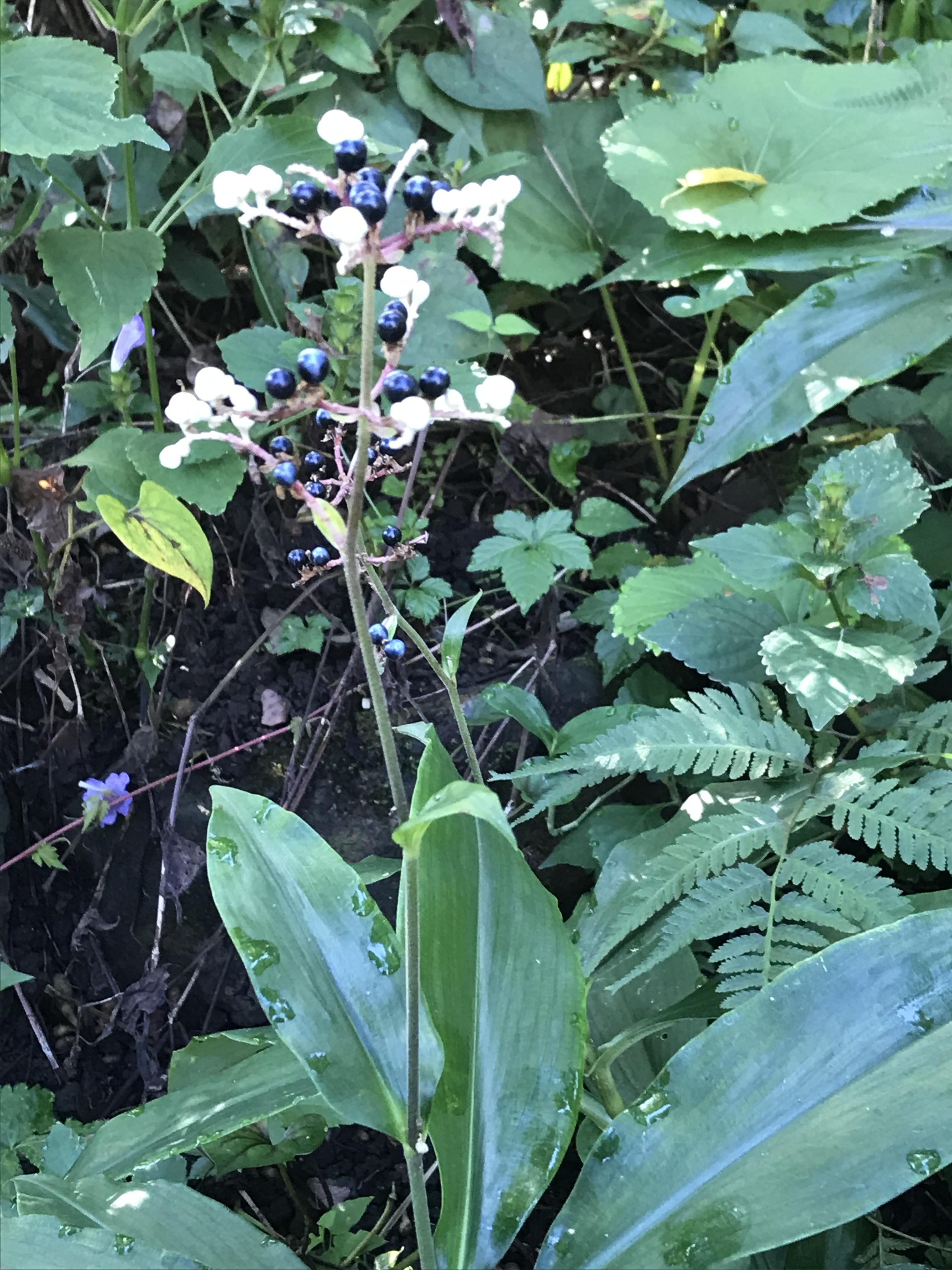 茗荷の花と実