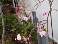 020402花桃 (1)1