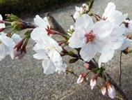 020404花川の桜 (1)1