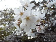 020404花川の桜 (2)2
