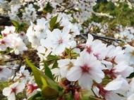 020404花川の桜 (4)4