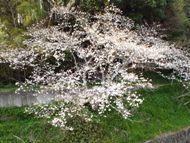 020404花川の桜 (6)6