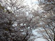 020404花川の桜 (10)10