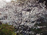 020404花川の桜 (9)9