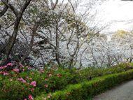 020404花川の桜 (17)17