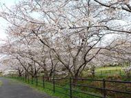 020404花川の桜 (16)16