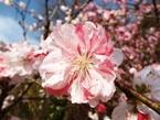020404都苑の花桃 (2)2