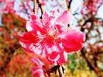 020404都苑の花桃 (3)3