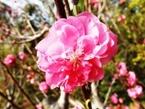 020404都苑の花桃 (5)5