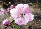 020404都苑の花桃 (7)7