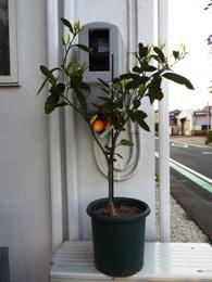 020501鉢植えみかん (1)1
