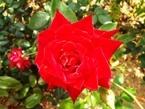 020522都苑のバラ (2)2