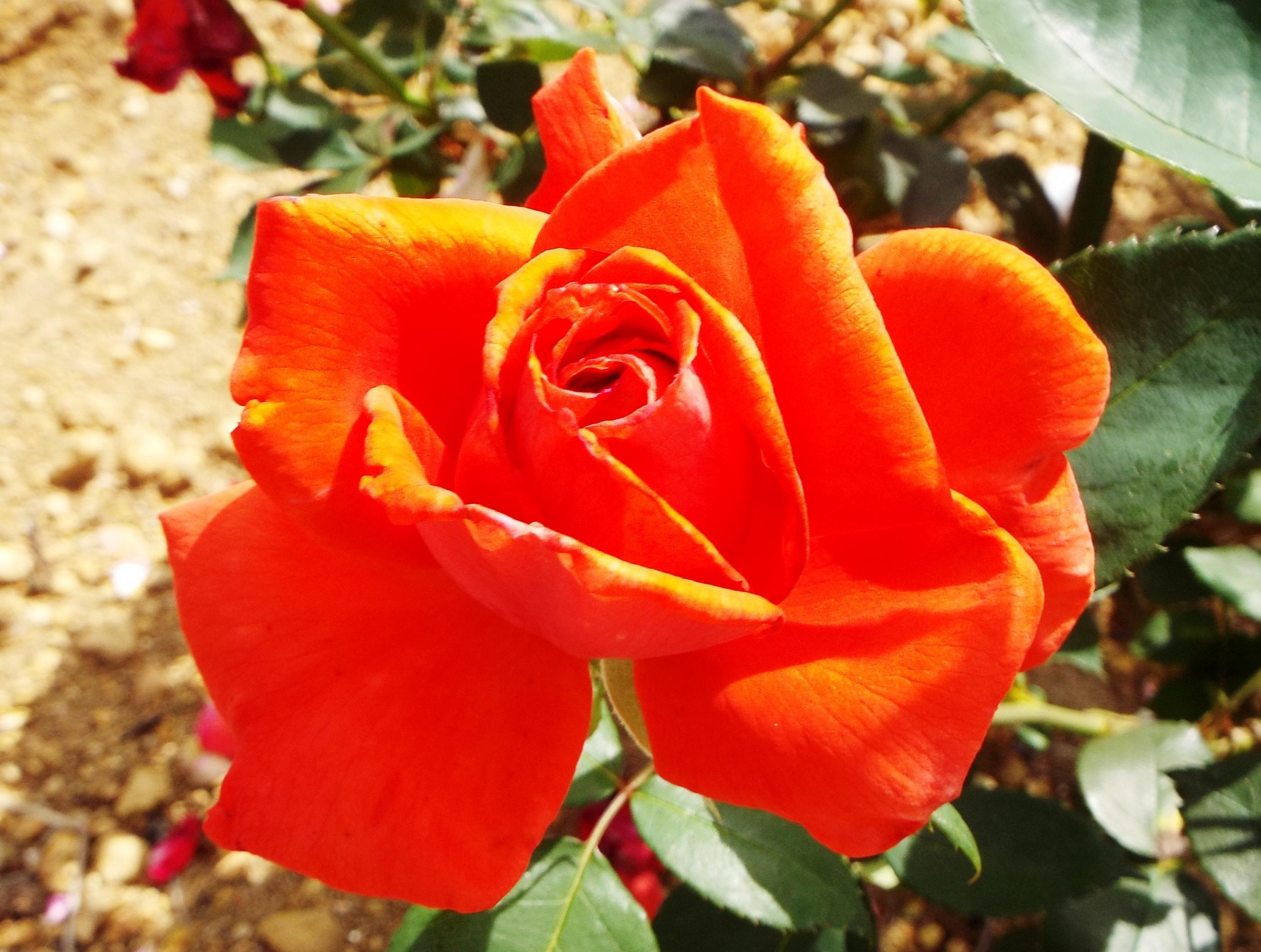 020522都苑のバラ (3)