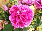 020522都苑のバラ (5)5