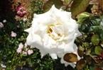 020522都苑のバラ (14)14