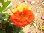 020522都苑のバラ (4)4 - コピー - コピー
