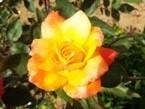 020522都苑のバラ (11)11 - コピー - コピー