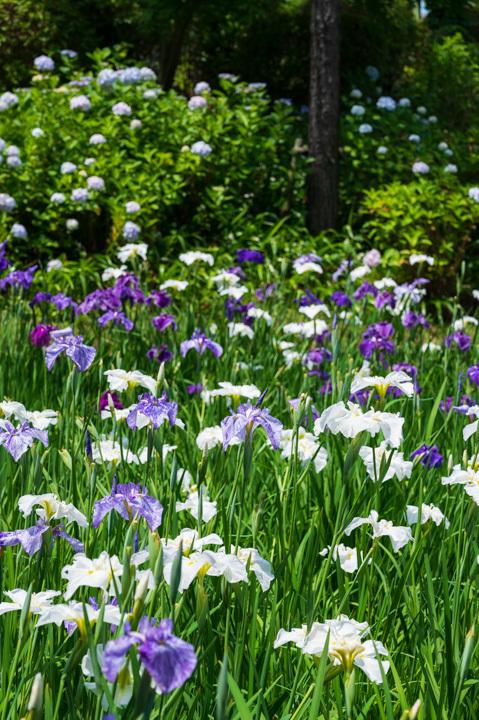 菖蒲 紫陽花