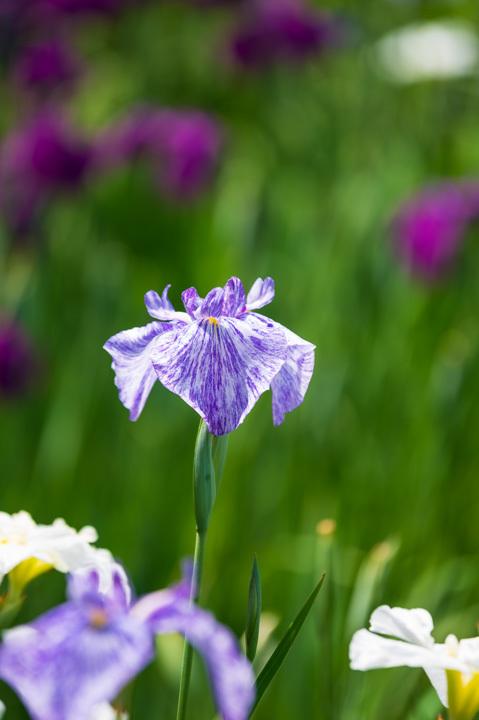 菖蒲 花 紫