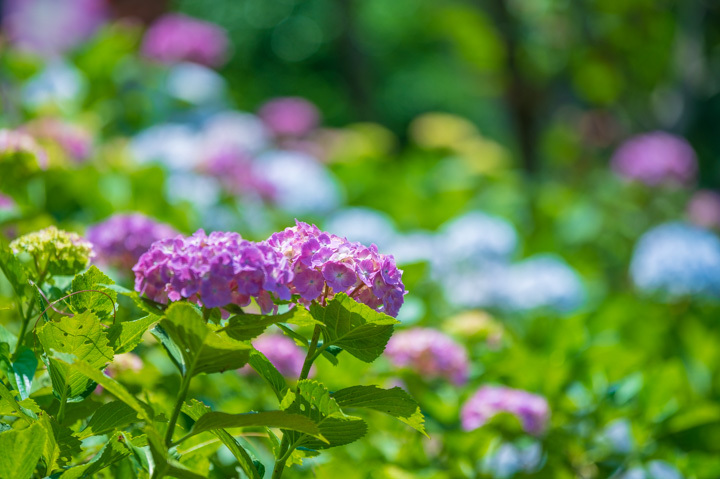 紫陽花 青 ピンク
