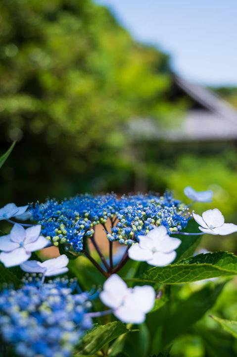 紫陽花 青 ガクアジサイ