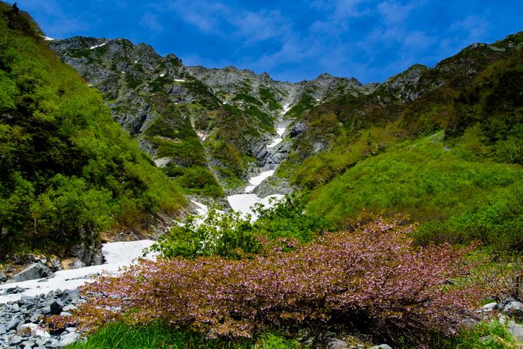 上高地 岳沢小屋 新緑 残雪 タカネザクラ