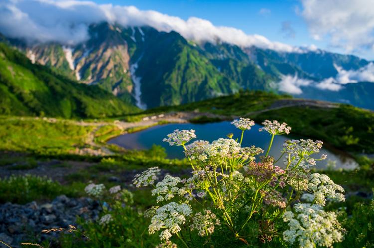 唐松岳 八方池 雲海 早朝 高山植物 花