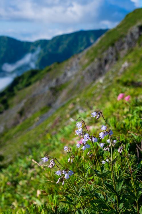 唐松岳 登山 トレッキング 花 ハクサンシャジン