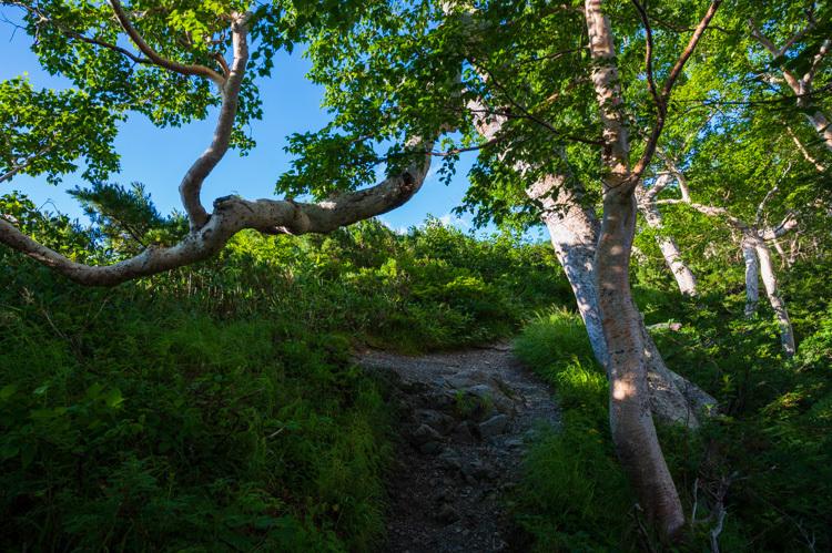 唐松岳 登山 トレッキング 下の樺 ダケカンバ