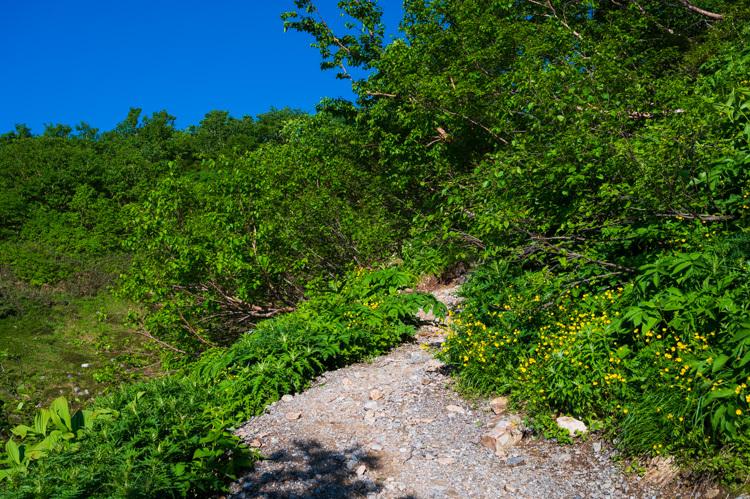 唐松岳 登山 トレッキング 上の樺 花 シナノキンバイ
