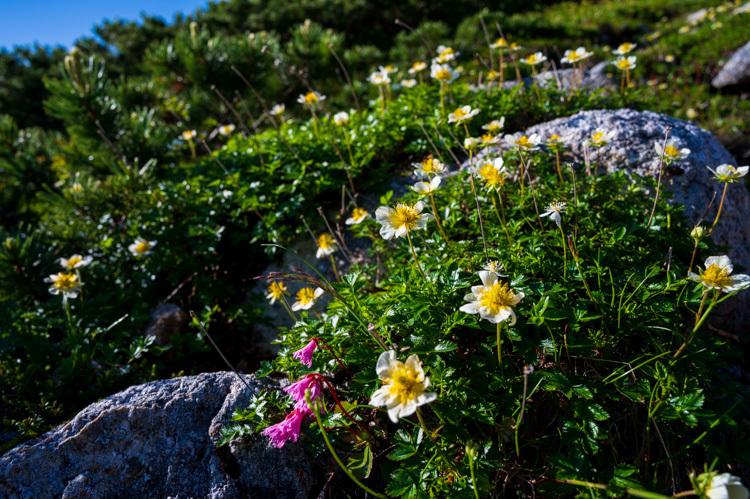唐松岳 登山 トレッキング 丸山ケルン チングルマ イワカガミ
