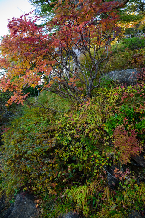 蓮華温泉 白馬大池 紅葉 黄葉