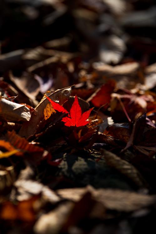 紅葉 モミジ 落ち葉