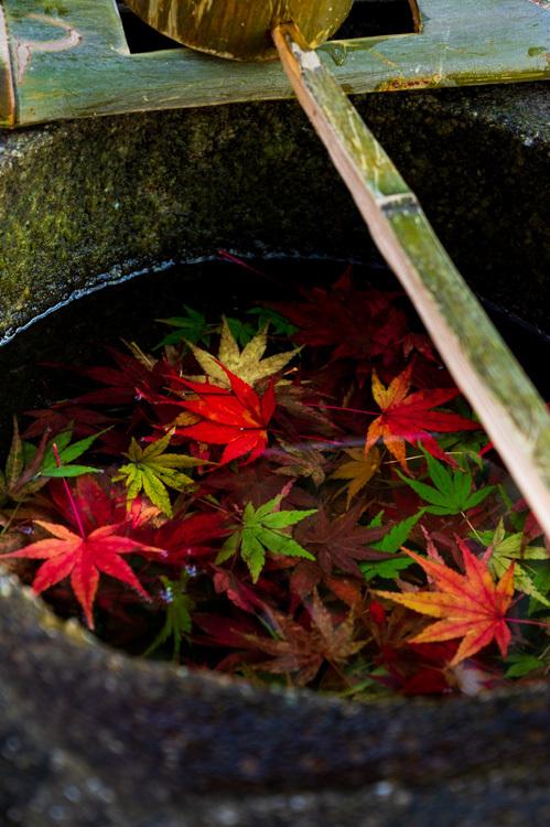 モミジ 紅葉 寺 手水鉢