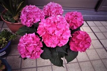 母の日紫陽花