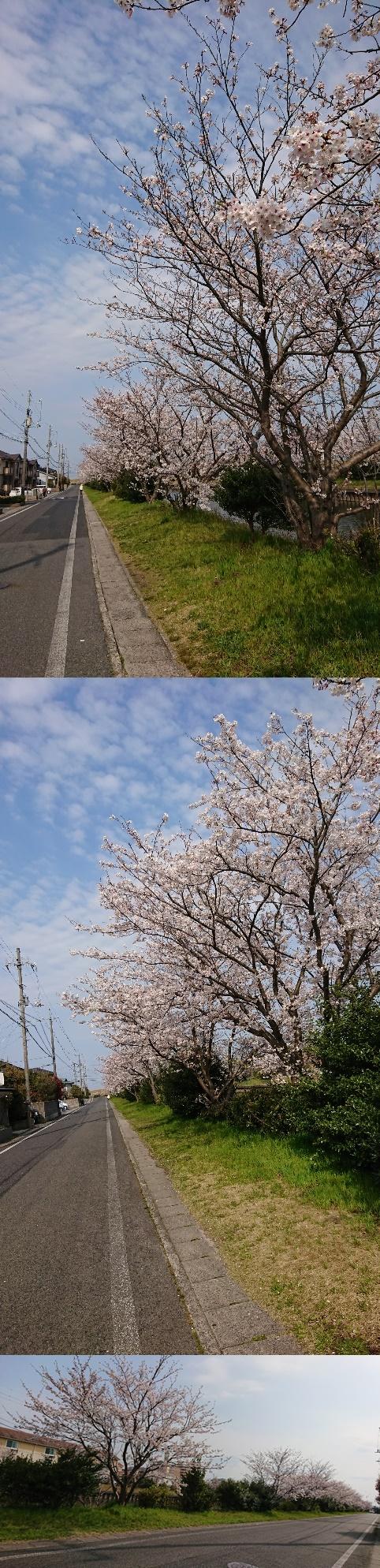 DSC_1388-vert桜