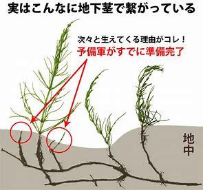 スギナ 地下茎