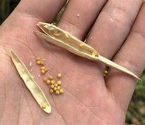画像 マスタードの種子