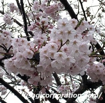 2020 0401 桜