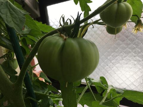 20200516 大玉トマト③