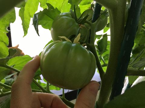 20200524 大玉トマト②