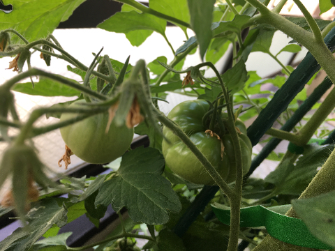 20200524 大玉トマト④