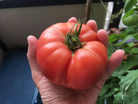 20200612 大玉トマト③
