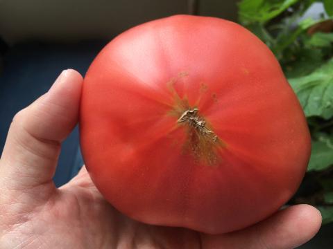 20200612 大玉トマト④